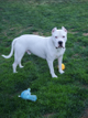 Apollo - The 2 Year Old Dogo Argentino