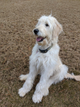 Sweet Golden Doodle Puppy (8 mo)