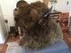 Wyoming Buffalo Shoulder Mount
