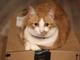 Spayed Munchkin Cat