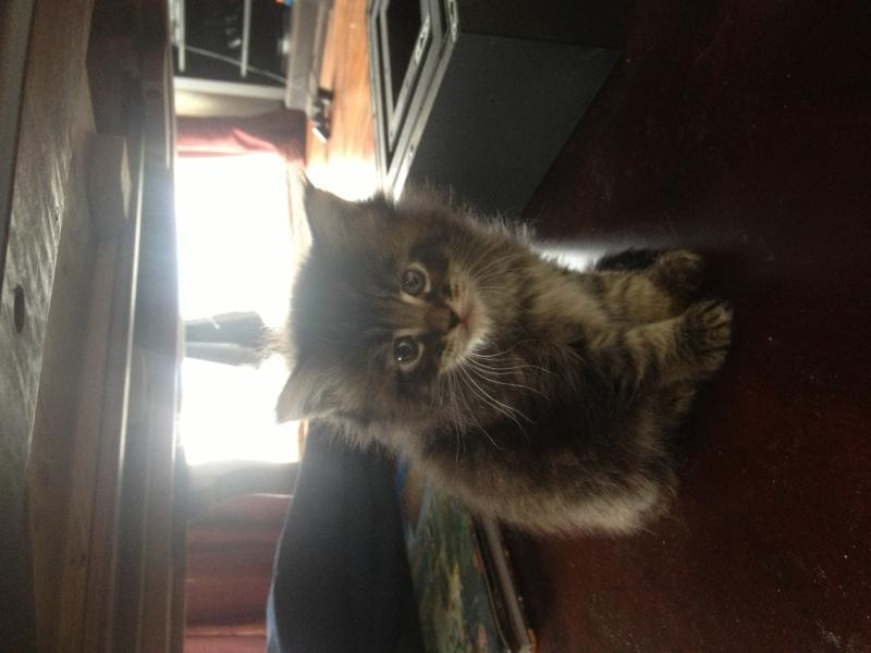 Cost to Transport 8 week old Maine coon kitten to Grand ...