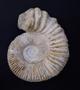 Large Limestone Fossil