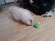 ship 2 potbelly pigs