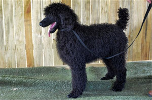 Poodle Dog Shipping Rates Services