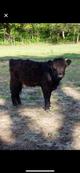 Miniature highland heifer - 10 month old calf