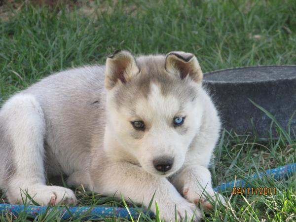 Move a Alaskan Malamute/Siberian Husky mix puppy to Laquey ...