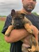 Mango 8 week female german shepherd puppy
