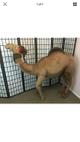 Large antique stuffed camel