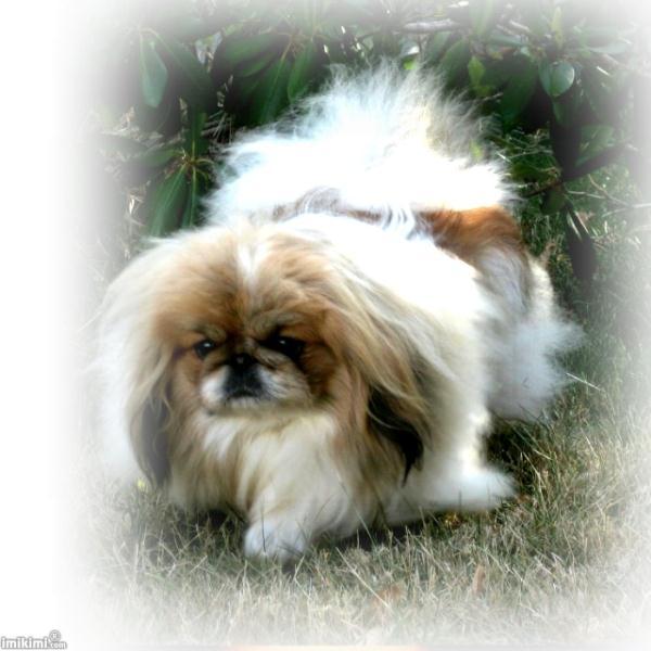 Buy Pekingese Dog Puppies For Sale Arkansas USA