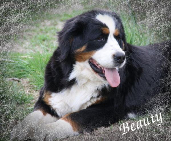 Bernese Mountain Dog Shipping Rates Services