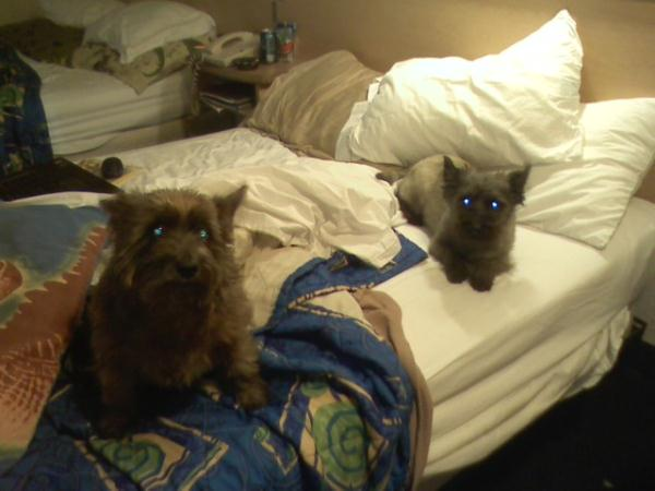 Cairn Terrier Dog Shipping Rates & Services
